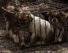Total Bullshit... These people should be shot for this kind of cruelty!  China annual dog meat festival