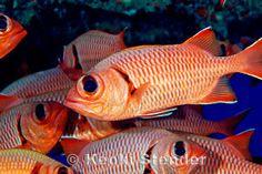 Myripristis berndti - Bigscale Soldierfish