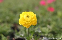 Yellow persian buttercup (11) Persian Buttercup, Flower Pictures, Colorful Flowers, Red And White, Yellow, Rose, Plants, Pink, Image