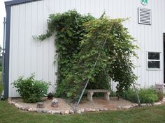 """This is my grape arbor.  Made by taking 2 """"roof"""" pieces of a chain link dog run (like framed chain link fence sections you can get at a local DYI store) and standing them on end.  We clamped them at the top and hammered steaks in through a few bottom links for stability.  Planted the grapes on the inside of the A shaped frame.  On the left is a black berry bush and on the right is my herb garden.  When the grapes filled in the frame was completely hidden and all that was left was this nice…"""
