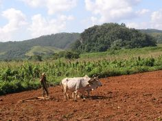 Tobacco farmer in Viñales, Cuba - like Mateo & Andrés Hernández in Caribbean Freedom - third Island Legacy Novel - releasing April 6, 2013. For more info visit me at www.terimetts.com and ck under Novels. Vinales, Havana Cuba, Where The Heart Is, Homeland, Cuban, Farmer, Caribbean, Places To Go, Third