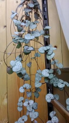 Common Name: Heart Vine, String of Hearts, Rosary Vine Origin: South Africa, Zimbabwe and Swaziland Identification: The plant grows about 10 cm in height with a spread of up to a meter. The leaves are...
