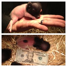 Solid Demand Results in Pig Price Rise Mini Piglets, Baby Piglets, Cute Piglets, Mini Teacup Pigs, Teacup Piglets, Cute Funny Animals, Cute Baby Animals, Animals And Pets, Pigs For Sale