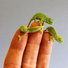 Little Chameleon hatchlings