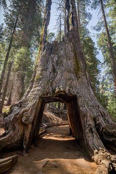 Drive-through Tree in Tuolumne Grove, sequoia grove located near Crane Flat in Yosemite National Park, CA