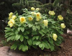Paeonia daurica mlokosewitschii: Molly the witch