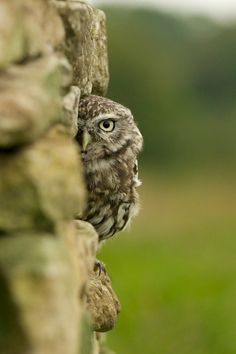 Little Owl peeking from a stone wall. Scrappy at the British Wildlife Centre.
