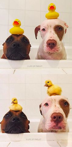 All these dogs wanted were some duck siblings...and they finally got them!
