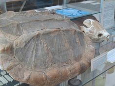 """""""The carapace."""" Carapace, Indiana, Table, Furniture, Home Decor, Decoration Home, Room Decor, Tables, Home Furnishings"""