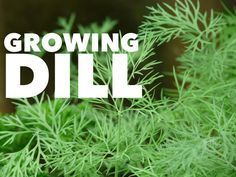 One of the most popular and useful kitchen herbs to grow in the home garden is dill. Both the plant and its seeds are useful for a variety of kitchen uses and recipes. Growing the herb is easy as w…