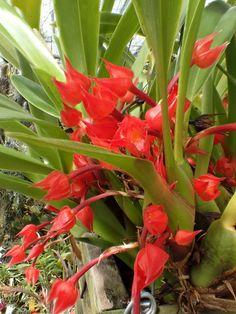 Maxillaria coccinea Syn.: Epidendrum coccineum; Cymbidium coccineum; Ornithidium coccineum; Camaridium coccineum April 30, 2015