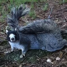 Stacy's squirrel