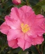 Coral Delight Camellia (Camellia x 'Coral Delight')