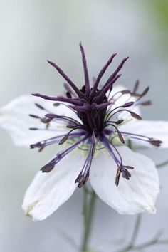 Nigella hispanica 'African Bride' Seeds £2.18 from Chiltern Seeds - Chiltern Seeds Secure Online Seed Catalogue and Shop