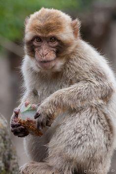 Snoezige Baby Berber (een jaar later 2013) #apenheul
