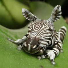 The Rare and Elusive Striped Zebra Frog.  LOL!  I know it's fake, but it takes some big time talent to get photoshop to do a photo manipulation this fabulous!  Like it @Sarina Wiltshire Martinez ???