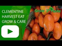 Clementine tree - Learn how to grow Clementine tree, plant information - climate, zone, uses, growth speed, water, light, planting & bloom