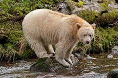 Resultado de imagen para spirit bear