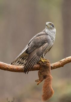 Goshawk with red squirrel prey by Edwin Kats Harpy Eagle, Bald Eagle, Beautiful Birds, Animals Beautiful, Northern Goshawk, The Eagles, Philippine Eagle, Animals And Pets, Cute Animals