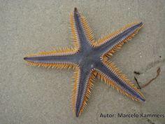 Estrela do mar (Astropecten brasiliensis): ameaçada de extinção. Endangered specie.