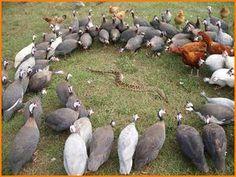 why guineas are awesome Estas gallinas de Guinea se juntan y rodean las viboras protegiendo a las personas con un griterio terrible