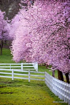 our pasture.the horses run free along side the purple cherry blossom trees that my husband and I planted when we were first married. Beautiful World, Beautiful Gardens, Beautiful Flowers, Spring Is Here, Spring Time, Hello Spring, Blossom Trees, Cherry Blossoms, Spring Blossom