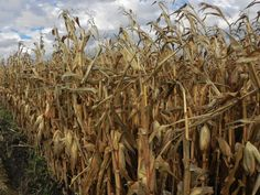 """""""Corn"""" Nicole Cannon"""