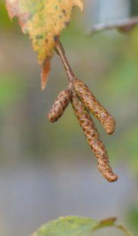 När löven faller.... När löven faller blir nästa års blad- och blomknoppar synliga på flera av våra träd. Hanhängena hos hassel, al och björk finns redan på plats. Björkhänge i oktober. Foto:Agneta Ekebom