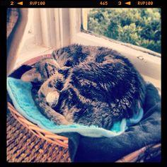 """Te day AFTUR #caturday…"" #hungover #SimonAndStellaCats #Stella #Simon #cats #cat #kitty #kitteh #gato #monkeybuns #furpig #neko (at La Kitteh Inn Pacifica Beach Hideway)"