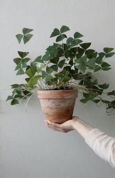 Triangle shaped leaf plant..does anyone know the name?