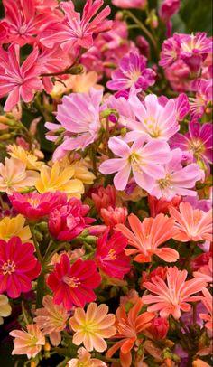 ~~Rainbow Lewisia ~ Hybrid Mix | Monrovia~~