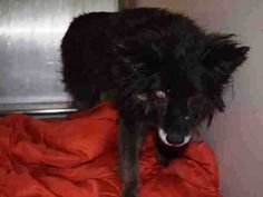 17 YEARS!! OMG!! POOR SWEETHEART!! OWNER SICK! SUPER URGENT Manhattan Center PUDDLES – A1098305 FEMALE, BLACK, BORDER COLLIE MIX, 17 yrs. Blind & Deaf! OWNER SUR – EVALUATE, NO HOLD Reason OWNER SICK Intake condition UNSPECIFIE Intake Date 11/30/2016, From NY 10029, DueOut Date 12/03/2016