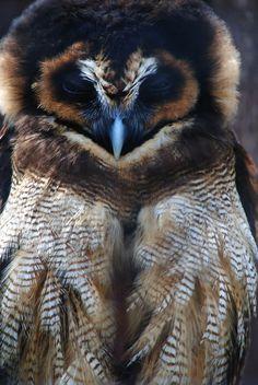 Megan the Malaysian Brown Wood Owl