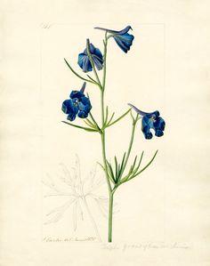 Curtis, John -- Delphinium grandiflorum var. chinensis -- John Curtis -- Artists -- RHS Prints
