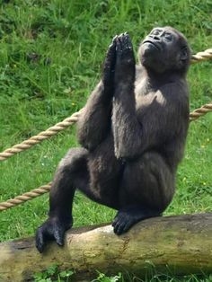 Funny Image Of A Young Gorilla Sticking Up Its Middle