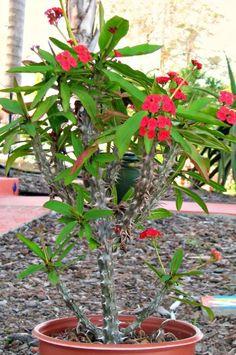 Cactus Limon - Crown of Thorns Euphorbia Milii Large Succulent Plant, $59.50 (http://www.cactuslimon.net/crown-of-thorns-euphorbia-milii-large-succulent-plant/)