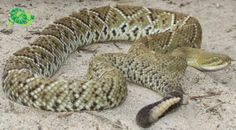 basilisk or Mexican west coast rattlesnake (Crotalus basiliscus)