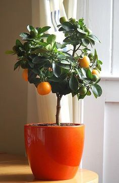 You can grow a clementine tree indoors. | 28 Surprising Things ... ...