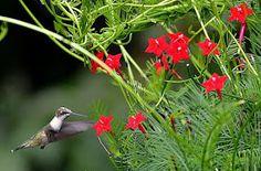 Hummingbirds and Cypress Vines