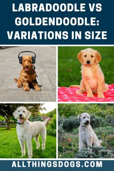 With both dogs coming in three different size variations, what is the difference between Labradoodle vs Goldendoodle size? Labradoodles are considered to be slightly lighter, with the Labradoodle weighing between 15-65 pounds, while Goldendoodles can weigh upto 100 pounds. Read on for more details.  #goldendoodlevslabradoodle #labradoodlevsgoldendoodlesize #retrieverpoodlemix Labradoodles, Goldendoodles, Brown Labradoodle, Australian Labradoodle, Best Dogs For Families, Family Dogs, Miniature Dog Breeds, Small Poodle, Goldendoodle