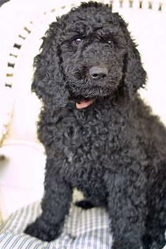Black Goldendoodle perhaps Weezie needs a playmate