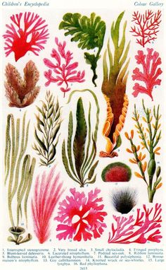 This British Seaweed colour plate in beautiful pinks and greens has been sourced from a 1952 edition of Arthur Mees Childrens Encyclopaedia. This