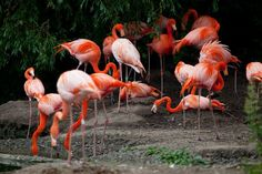 flock-of-flamingos