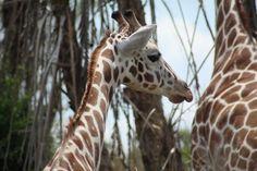 """Giraffe""  @Lynn Bonn  #giraffe, #animal, #savannah, #Animal Kingdom, #safari, #Disney, #Florida"