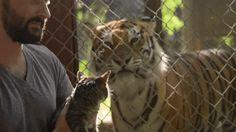 cat meets tigers
