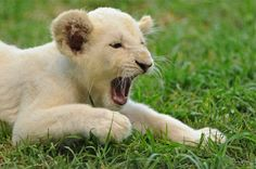 Cub very tired, Zebula, South Africa Pink Eyes, Lions Photos, Lion Cub, Albino, Wild Life, Cubs, South Africa, Golf Estate, White Lions