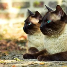 Siamese cats- those eyes are amazing...