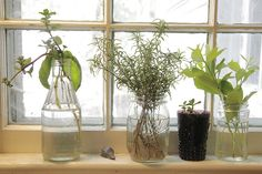 Growing shrubs from cuttings...