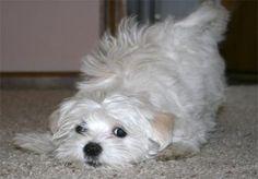 Maltese Dog Breed cute Maltese dog