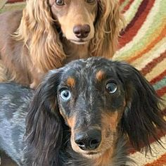 Dachshund Adoption, Pet Adoption, Dachshunds, Doggies, Dog Anatomy, Finding Your Soulmate, Animal Projects, Animal Welfare, My Heart Is Breaking
